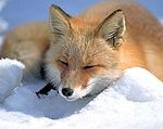 180px-Vulpes_vulpes_laying_in_snow